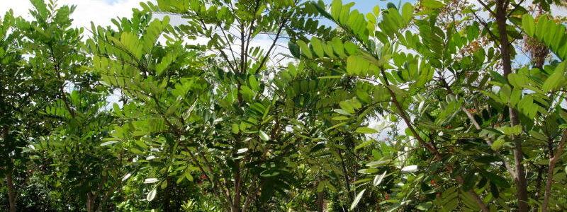 சொர்க்க மரம் Simarouba glauca