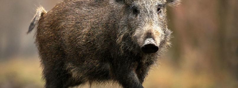 காட்டுப் பன்றியிடம் இருந்து பயிர்களை காக்கும் வழிகள் wild pig
