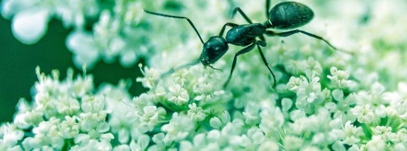 ants-agriwiki