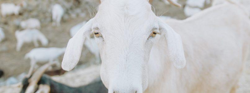 ஆடுகளில் ஏற்படும் மடிநோய் பிரச்சனைகள்