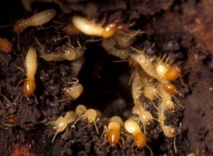 fallout-termites-agriwiki