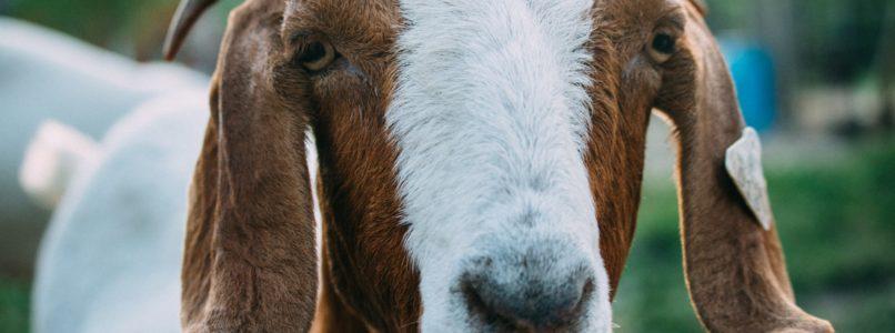 goat-agriwiki