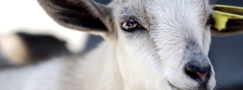 தமிழக ஆடு இனங்கள் goat