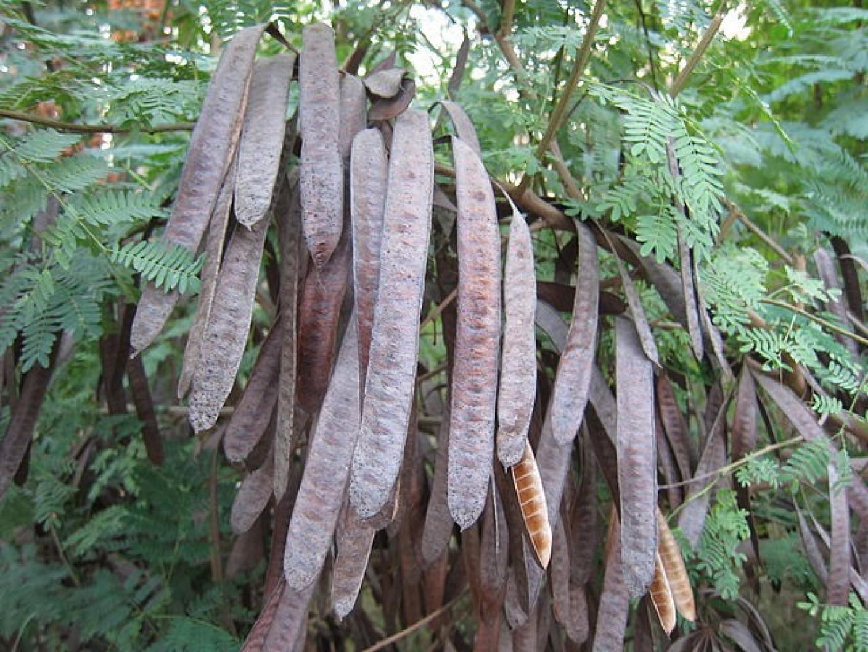 சுபாபுல் பற்றிய சில குறிப்புகள் subabul-white-leadtree