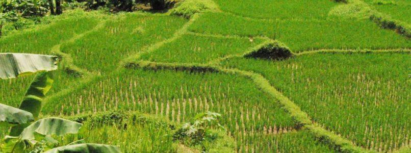 காணாமல் போன தமிழரின் பாரம்பரிய 2600 நெல் ரகங்கள்
