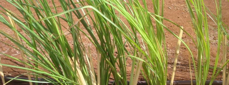 செலவில்லாத சுத்திகரிப்பு கருவி vetiver grass