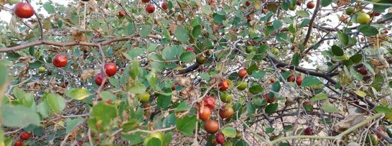இலந்தை - தேனீக்கள் மற்றும் பூச்சிகளின் உணவுக்கான மரம்