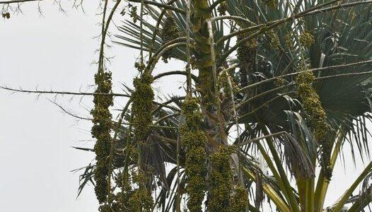 தாளிப் பனை Talipot palm Corypha umbraculifera