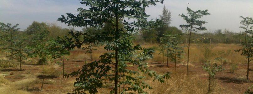 மலைக்க வைக்கும் மலைவேம்பு