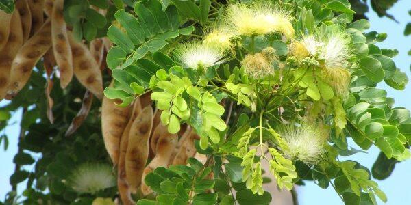தூங்குவாகை தூங்குமூஞ்சி மரம்