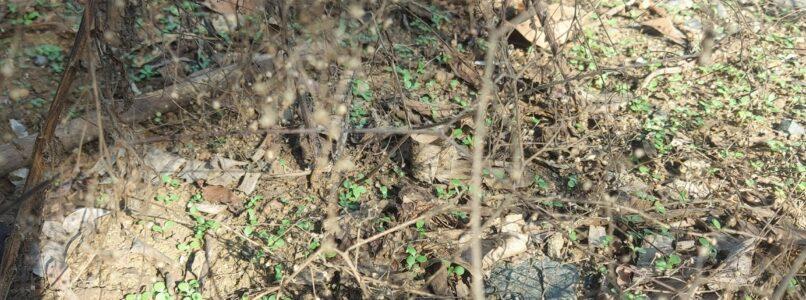பார்த்தீனிய செடிக்கு கல்உப்பு கரைசல்